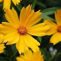 SHIP FROM USA Coreopsis Lance Leaf Flower Seeds (Coreopsis Lanceolata) 800+Seeds - $38.21
