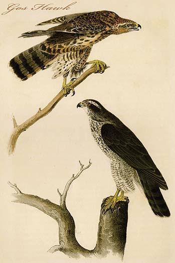 Gos Hawk by John James Audubon - Art Print