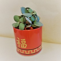 """Jade Plant in Red Gold Tin, 3"""" Planter Succulent Crassula ovata Chinese New Year image 5"""