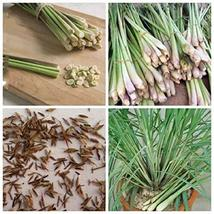 500 Seeds Lemon Grass Cymbopogon Flexuosus Garden Seeds TkForever - $59.40
