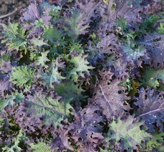 Premium Seeds 250 Pcs Red Russian Kale NON-GMO Antioxidants Ragged Jack - $3.99
