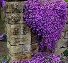 600 Aubrieta seeds Cascade Purple Flower Rock Cress seeds - $17.44