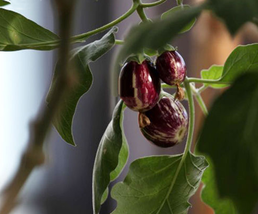 100pcs DELICIOUS Edible Eggplant Colorful Solanum Melongena Vegetable Seeds IMA1 - $13.99