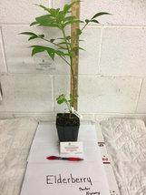 Elderberry (Sambucus canadensis) shrub qt. pot image 2