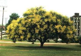 10 Golden Raintree Koelreuteria paniculata Tree Seeds (Fast, Fall Color,... - $8.99