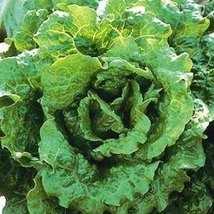 200 seed of lettuce summer crisp Nevada - $16.71
