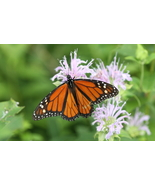 Monarch Butterfly 8.5 x 11 Unmatted Photograph - $15.00