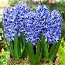 Delft Blue Hyacinth Bulbs - 5 Bulb Pack - $23.75