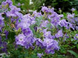 Outdoor Living - Duranta Erecta Blue Periwinkle Pint Plant - tgi - $51.95