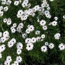 African Daisy- White- 50 Seeds - $1.29