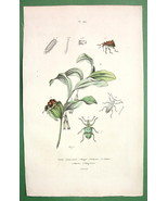 FLOWER Solomon's Seal Beetles - 1836 H/C Color Natural History Print - $10.71