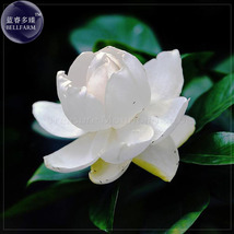 Gardenia Jasminoides Cape Jasmine Heirloom Seeds, Decorative Garden Flower - $8.56