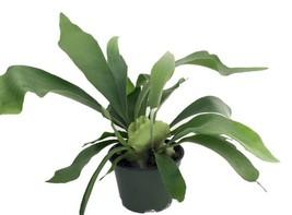 "Staghorn Fern Live Plant Exotic HousePlant 6.5""Hanging Pot Indoor Best G... - $29.65"