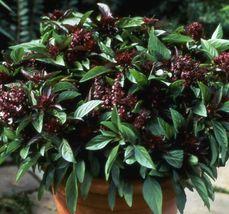 SHIP From US, 1 gram 700 Seeds Licorice Basil Herb, DIY Herb Seeds ZJ01 - $22.17