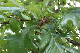 Bur Oak Tree, Quercus macrocarpa - Live Bare Root Plant - $45.00