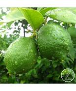 2bag- 50pcs Red Heart Citrus limon Seeds Fruit Garden Seed Orchard Farm ... - $12.00