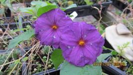 Small Purple Blue Sprawling Plant ( Blue Potato Bush ) Good Performer Qu... - $5.95