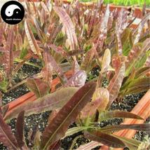 Buy Lettuce Vegetables Seeds 200pcs Plant Red Leaf Salad Vegetable Lactu... - $5.99