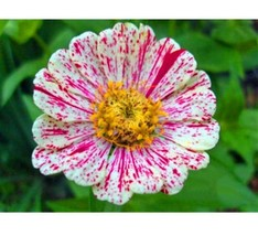 100Pcs White Red Strip Zinnia Bonsai Plants Potted Charming Chinese Flower Seeds - $9.20