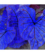 """ 200 seeds Blue Caladium Dwarf Elephant Ear Ornamental Plant Seeds GIM "" - $13.18"