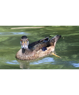 Juvenile Male Wood Duck 13 x 19 Unmatted Photograph - $35.00