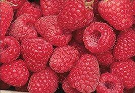 Bare Root of Encore Raspberry , Summer Bearing Raspberry Plants (25) - $128.70