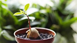 2 Organic Avocado Seeds, Non-GMO, Variety: Hass image 4