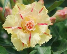 2pcs Very Wonderful Rosy Adenium Obesum Siam Yellow Desert Rose Flower Seed IMA1 - $14.92