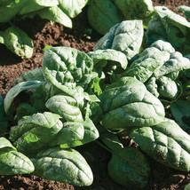 Kookaburra Spinach Seed, Vegetable Seeds,Ship From US - $18.00