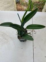 """4"""" Pot. Golden Dancer 'NN' CATTLEYA Orchid Plant Pot BLOOMING SIZE 0408d image 2"""