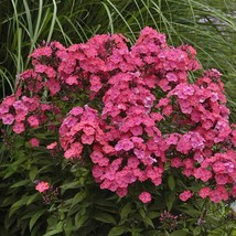 """2.5"""" pot phlox GLAMOUR GIRL disease-resistant easy native 1 Live Potted Plant - $32.99"""