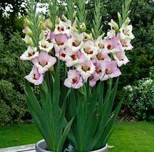 10pcs Very Wonderful Sword Lily Gladiolus Bulbs IMA1 - $25.99