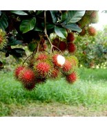 SHIP FROM US BIG GRAFTED Rambutan EXOTIC FRUIT live tree 2'-4' Tall TPE3 - $535.52