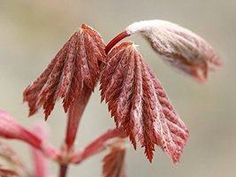 1 Starter Plant of Acer Japonicum 'Ruby Red' - Ruby Red Maple - $160.38
