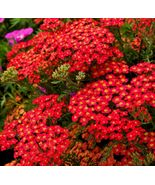 6 Variety Rare Red Yarrow Fresh Seeds #IMA33 - $13.99+