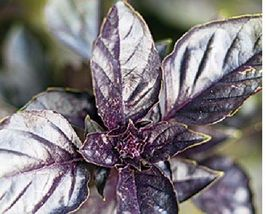 SHIPPED From US_ Purple Dark Opal Basil - 100+ Fresh Hand Packaged Seeds... - $16.99
