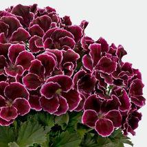 10 Maroon Geranium Seeds Perennial Flowers Seed Bloom Flower - $7.68