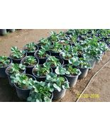"""ORGANIC STRAWBERRY PLANTS  1"""" BARE ROOT-SEASCAPE ,EVERBEARING  12 COUNT   U.S.A. - $15.00"""