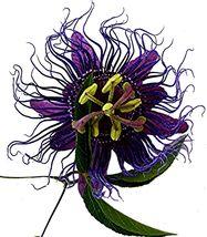 INSPIRATION Purple Violet Blue Passion Flower Vine Plant Passiflora Incarnata - $48.99
