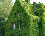 Arthenocissus quinquefolia wall rock home garden climbing lvy supplies plant seeds thumb155 crop