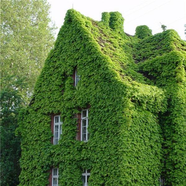 Creeper vine parthenocissus quinquefolia wall rock home garden climbing lvy supplies plant seeds