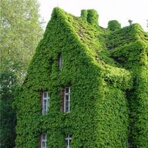 Ine parthenocissus quinquefolia wall rock home garden climbing lvy supplies plant seeds thumb200
