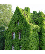 Virginia Creeper Vine Parthenocissus Quinquefolia Wall Rock Home Garden ... - $2.59
