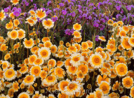 Tidy Tips Seed, Heirloom Flower Seed, Daisy Seed, Non-Gmo Annual Wildflower 75ct - $14.39