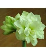 True Green Amaryllis Bulbs, Barbados Hippeastrum Bulbs, Rare Flower, 2 B... - ₹907.35 INR