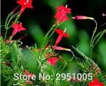 cypress vine ipomoea pennata seeds star glory flower climb plant seeds bonsai diy thumb155 crop