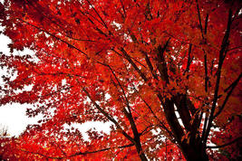 Red Maple Tree image 4
