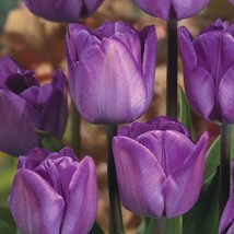 50 Bulbs - Tulip Magic Lavender - will add that magical touch - delicate lavende - $83.16
