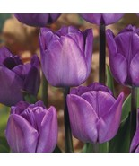 50 Bulbs - Tulip Magic Lavender - will add that magical touch - delicate... - $83.16