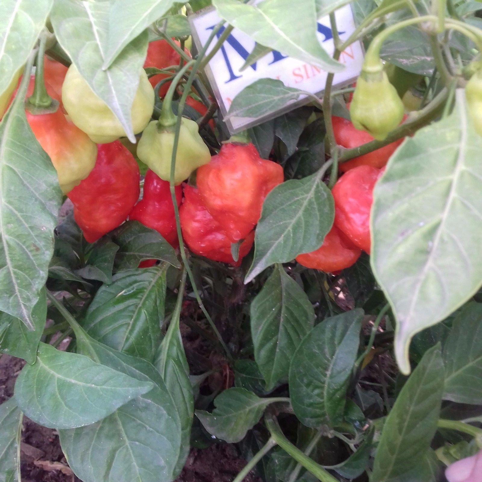 BILLY GOAT ,20 SEMILLAS,SEEDS,Capsicum chinense ,cosecha propia(80)